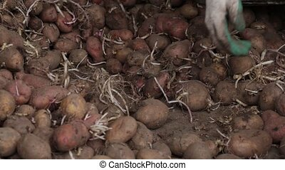 Manual sorting planting potatoes with sprouts indoors