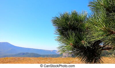 Hiking. Pine in the Alpine meadows - Crimean pine on...