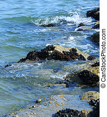 mussels on the rocks of the clean sea in summer - many...