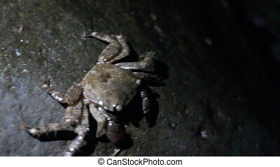 Crab with square head finds cigarette butt on beach - Crabs...