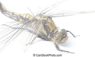 Large dead dragonfly on white background 2. Well visible...