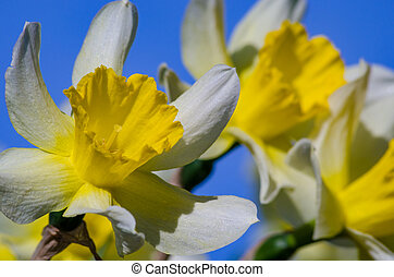 Narciss spring flower - Daffodil blooms in the garden filmed...