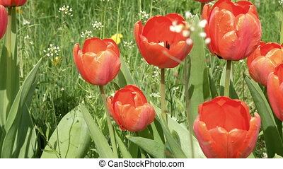 Red tulips in the garden flowerbed in the wind - Red tulips...