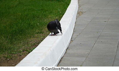 urban pigeon walks over the white the curb in the park HD...