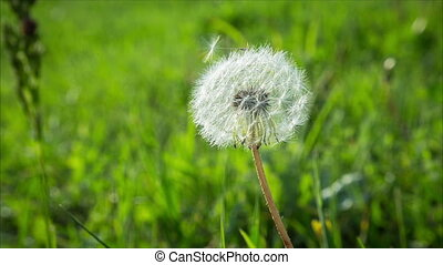 Dandelion seeds flying on the green background