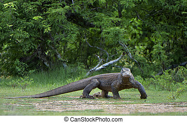 Komodo dragon Varanus komodoensis is the biggest living...