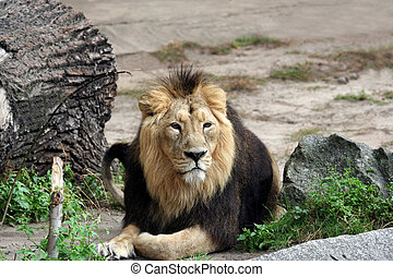 Adult male lion - Portait of adult male lion resting...