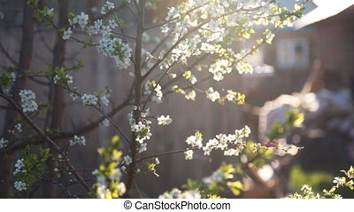 Spring background of branches of a blossoming tree