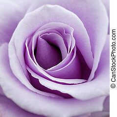 Purple Rose - Close up of a purple rose flower