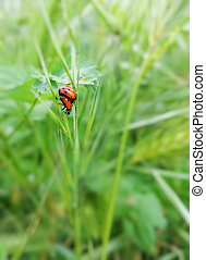Ladybugs Mating - A couple of ladybugs mating in the grass