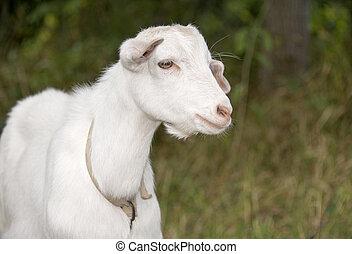 White goat grazes in a meadow