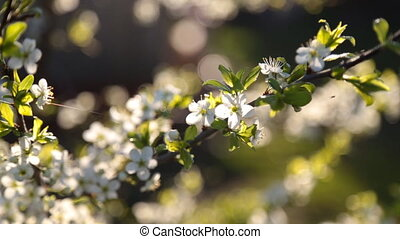 Spring background of branches of a blossoming tree - spring...