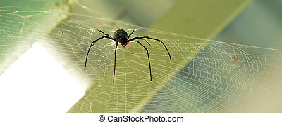 Golden silk orb-weaver spider male - A rare giant Golden...