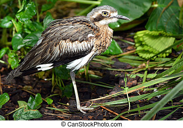 Bush Stone-curlew profile side view - Bush Stone-curlew in...
