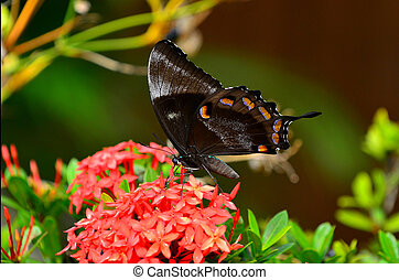 Ulysses Swallowtail butterfly drinks nectar from a red...