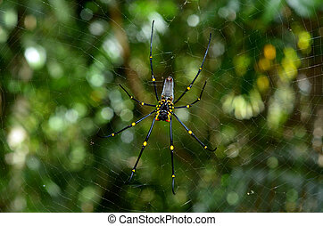 Golden silk orb-weaver spider - Golden silk orb-weavers...