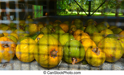 Raw Yellow Sapote in a ripening cage in banana plantation in...