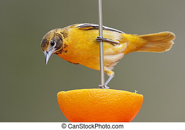 Baltimore Oriole feeding on an orange - Female Baltimore...