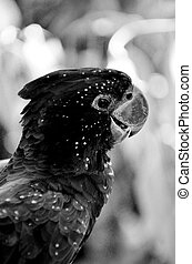 Red-tailed black cockatoo - Portrait of a Red-tailed black...