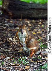 Yellow-footed rock-wallaby (Petrogale xanthopus) in...