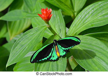 Cairns Birdwing butterfly above view - Cairns Birdwing