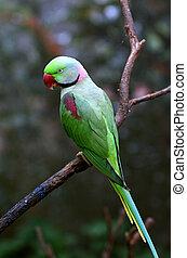 Alexandrine Parrot Psittacula eupatria native to India and...