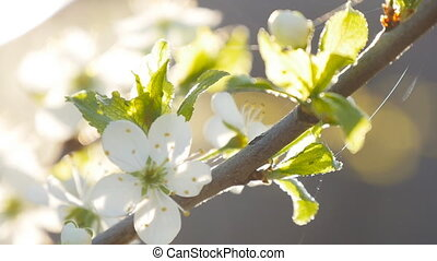 white cherry blossoms in full bloom in slow motion - white...