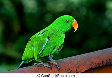 Eclectus parrot Male (green) (Eclectus roratus) is a parrot...