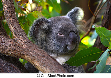 Baby cub Koala on a tree in Kuranda Queensland, Australia.