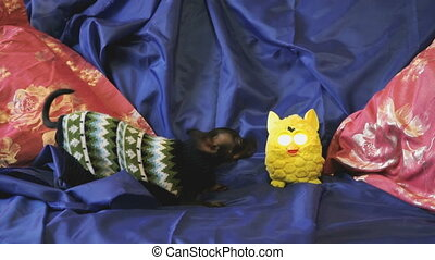 Dog toy-terrier barks and plays with a yellow toy n a blue...