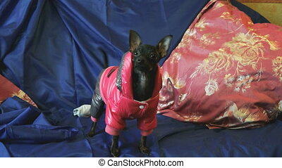 Dog toy-terrier barks and poses on the camera on a blue sofa...