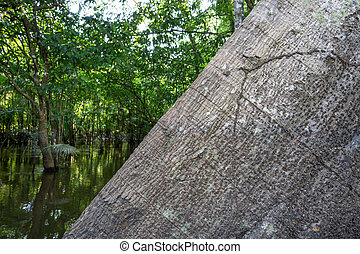 Ceiba pentandra tree trunk in the Amazon Rainforest -...