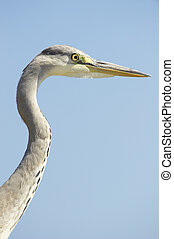 Grey Heron bird - Grey Heron Ardea Cinerea bird against blue...