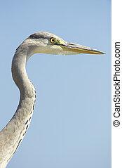 Grey Heron bird - Grey Heron (Ardea Cinerea) bird against...
