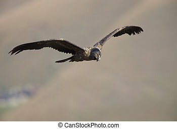 Lammergeyer or Bearded Vulture - Juvenile Lammergeyer or...