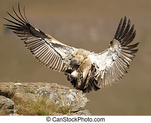 The Cape Griffon or Cape Vulture Gyps coprotheres landing...
