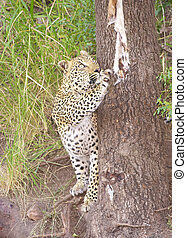 Leopard playing with skin