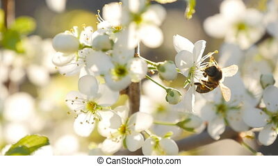 spring white flower and bee in slow motion