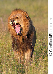 Lion panthera leo in savannah - Lion panthera leo growling...