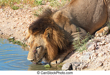 Lion (panthera leo) drinking water - Lion (panthera leo)...