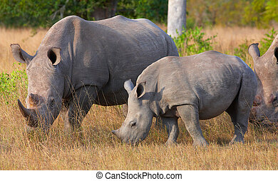 Group of white rhinoceros - Group of white square-lipped...