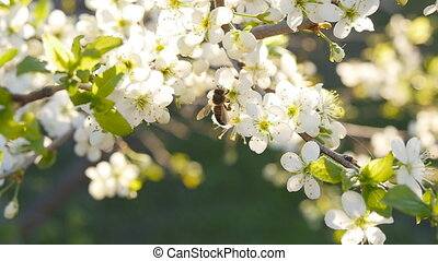 spring white flower and bee in slow motion - spring white...