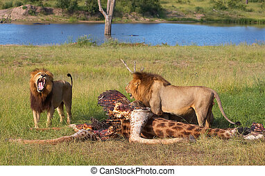 Two Lions (panthera leo) in savannah - Two male lions...