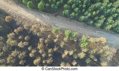 Burnt and safe pine tree forest with track, aerial view -...