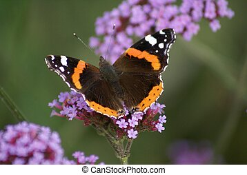 Vanessa atalanta - Red Admiral Butterfly on butterfly bush...