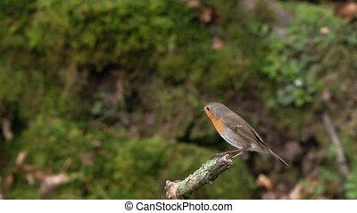 Robin in slow motion