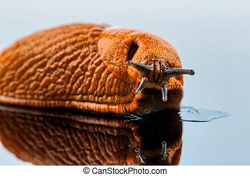 slug on a white background - a slug crawling around it is...