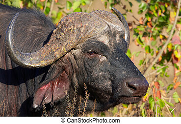 Buffalo Syncerus caffer in the wild in South Africa