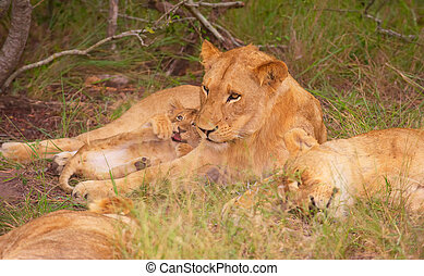 Lion (panthera leo) family in the wild in South Africa