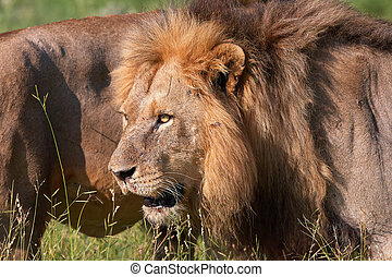 Two Lions (panthera leo) close-up - Two Lions (panthera leo)...